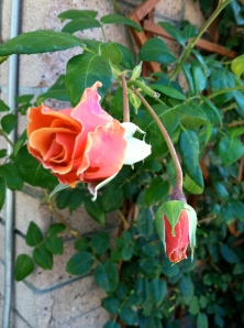 The roses went ahead and blossomed even after everyone left the scene.  The stick bug found another home upon which to swell, but was never again seen by the artist or the girl.